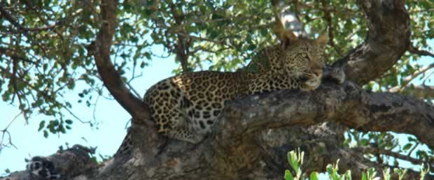 Leopard in a tree near Berg and dal In the Kruger