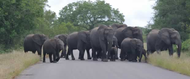 Elephant Blocking the road in the Kruger park. Because... They can
